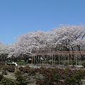 舞鶴公園の桜(21)ぼたん・しゃくやく園