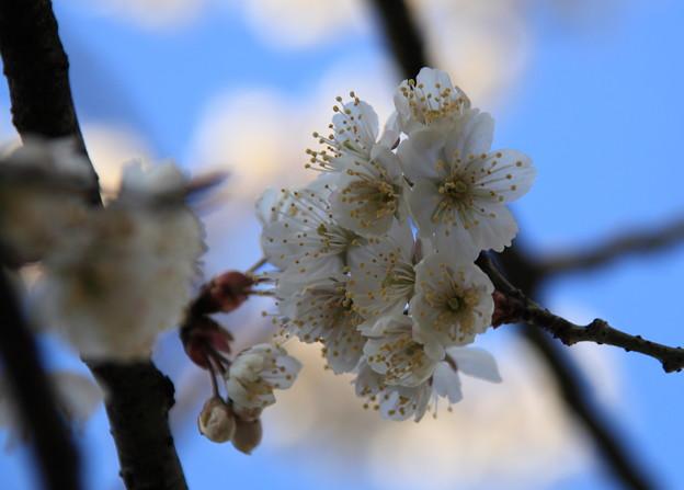 青空と桜(3) カラミザクラ