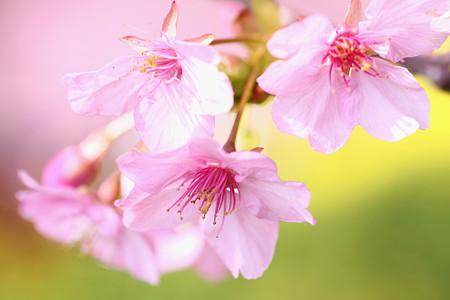 松田河津桜(3)