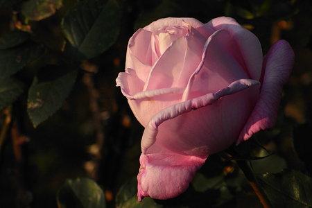 洋館のバラ