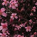 Photos: 桜舞