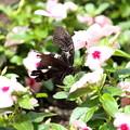百戦錬磨の蝶