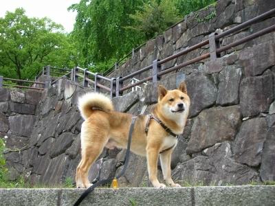 日本犬にマッチ