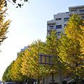 写真: 並木坂のイチョウ 02