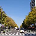 写真: 日本大通りのイチョウ 01