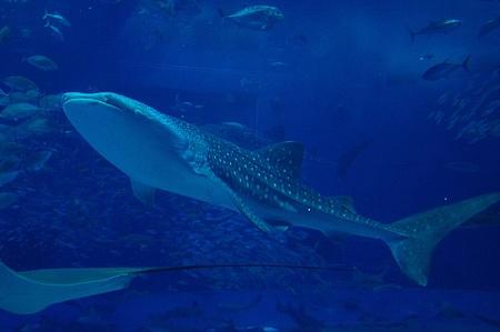 目玉のジンベイザメ