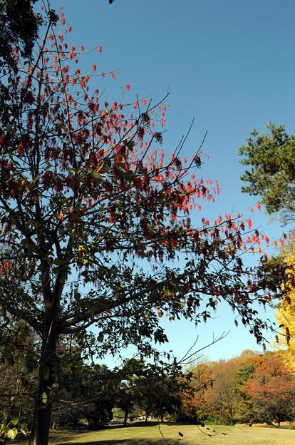 Photos: イイギリの木