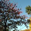 イイギリの木